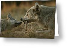 A Gray Wolf Pup, Canis Lupus, Begs An Greeting Card