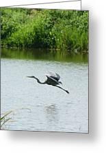 A Great Blue Heron Landing Greeting Card