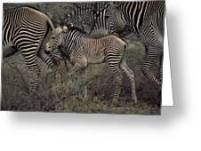A Grevys Zebra With Young In Samburu Greeting Card