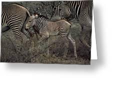 A Grevys Zebra With Young In Samburu Greeting Card