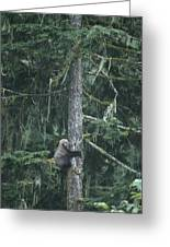 A Grizzly Bear Clings To A Fir Tree Greeting Card