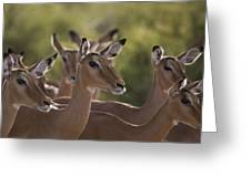 A Group Of Alert Impalas In Samburu Greeting Card