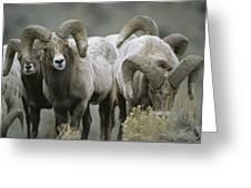 A Group Of Bighorn Sheep Rams Greeting Card