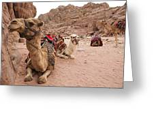 A Group Of Camels Sit Patiently Greeting Card
