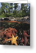 A Group Of Ochre Sea Stars Clustered Greeting Card