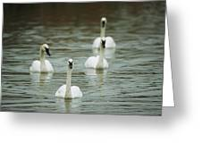 A Group Of Swans Swimming On A County Greeting Card