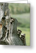 A Group Of Young Racoons Peer Greeting Card