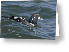 A Harlequin Duck Surfing Greeting Card