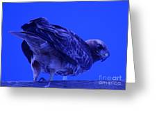 A Hawk Looks Back  Greeting Card