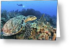 A Hawksbill Turtle Swims Greeting Card
