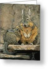 A Herbivorous Viscacha Nurses Her Baby Greeting Card