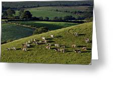 A Herd Of Cattle Graze On Rolling Green Greeting Card
