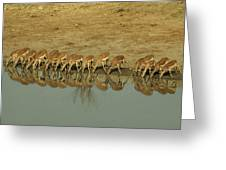 A Herd Of Impala Drinking At A Watering Greeting Card