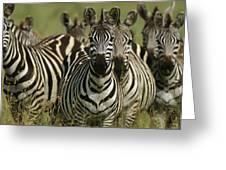 A Herd Of Zebras Standing Alert Greeting Card