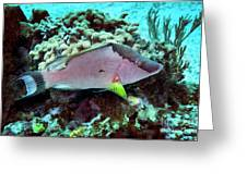 A Hogfish Swimming Above A Coral Reef Greeting Card