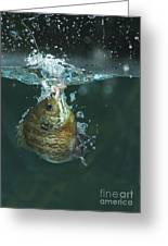 A Hooked Bluegill Greeting Card