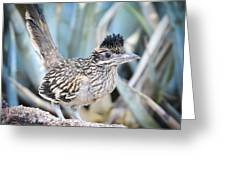A Juvenile Greater Roadrunner  Greeting Card