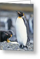 A King Penguin Stands On Pebbled Ground Greeting Card