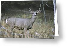 A Large Antlered White-tailed Deer Greeting Card
