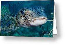 A Large Spotted Pufferfish Greeting Card