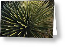 A Lechuguilla Plant In The Desert Greeting Card