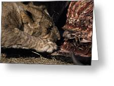 A Lion Feeding On The Carcass Of A Cape Greeting Card