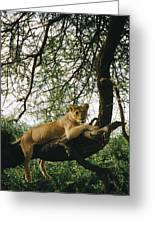 A Lion Panthera Leo Relaxes On A Tree Greeting Card
