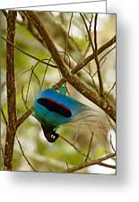 A Male Blue Bird Of Paradise Performing Greeting Card by Tim Laman