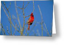 A Male Cardinal Sings In A Suburban Greeting Card