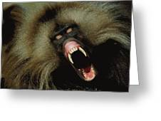 A Male Gelada Baboon Bares His Fangs Greeting Card