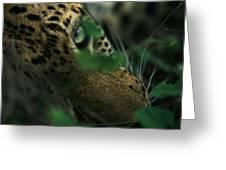 A Male Leopard Dozes Greeting Card