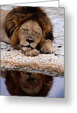A Male Lion Panthera Leo Sleeps Greeting Card
