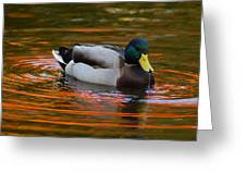 A Male Mallard Duck Drinking.  Fall Greeting Card