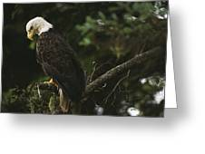A Mature Bald Eagle Is Perched Atop Greeting Card