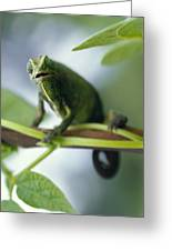 A Montane Side-striped Chameleon Greeting Card