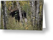 A Moose Alces Alces Americana With An Greeting Card