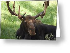 A Moose Greeting Card by Ernie Echols