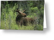 A Moose Stands In Tall Grass Greeting Card