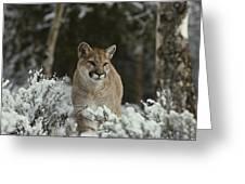 A Mountain Lion, Felis Concolor Greeting Card