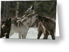 A Pack Of Gray Wolves, Canis Lupus Greeting Card