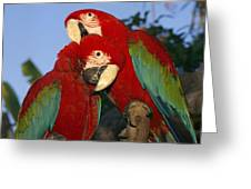 A Pair Of Captive Red-and-green Macaws Greeting Card