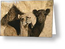 A Pair Of Dromedary Camels Pose Proudly Greeting Card