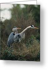 A Pair Of Great Blue Herons Stand Greeting Card