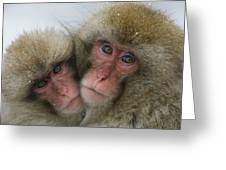 A Pair Of Japanese Macaques, Or Snow Greeting Card