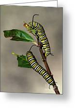 A Pair Of Monarch Caterpillars Greeting Card