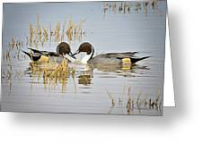 A Pair Of Northern Pintail Ducks  Greeting Card