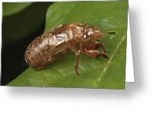 A Periodical Cicada Exoskeleton Greeting Card