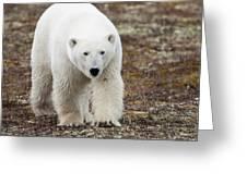 A Polar Bear Ursus Maritimus Walking Greeting Card