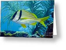 A Porkfish Swims By Sea Plumes Greeting Card