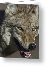 A Portrait Of A Gray Wolf Greeting Card